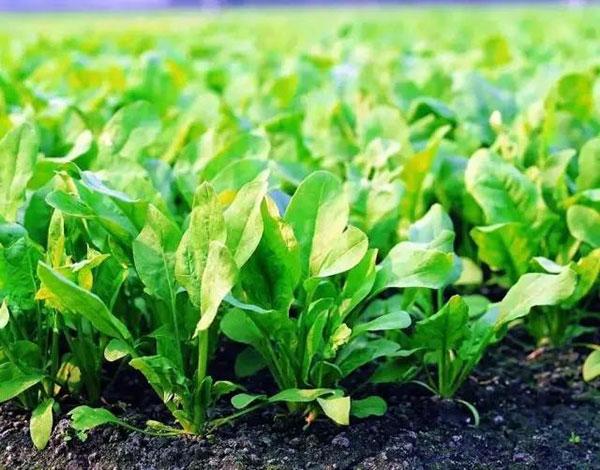 菠菜的生长环境及特征