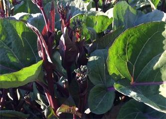 红安红菜苔