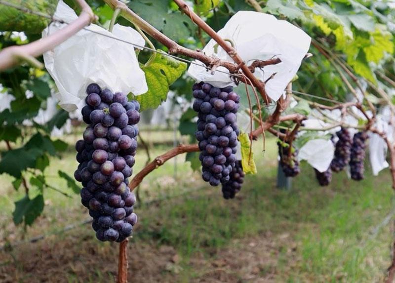 红安葡萄采摘