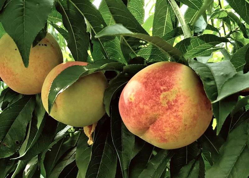 水蜜桃采摘