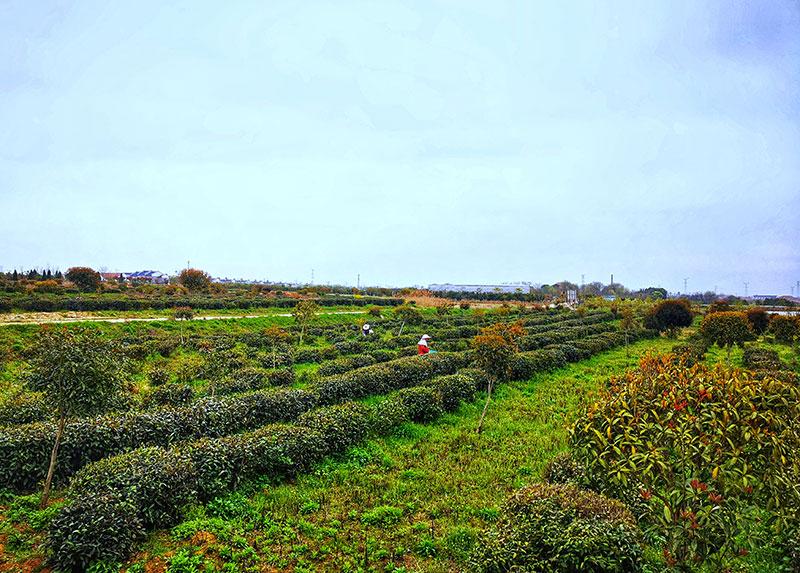 红安特色茶园